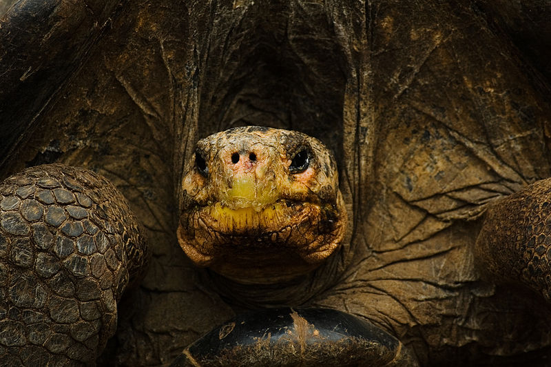 Galápagos tortoise | Photo courtesy of Wikimedia Commons