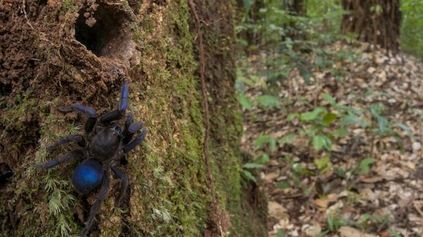 It is believed that the blue tarantula, discovered by UM doctoral student Andrew Snyder in Guyana, is a undescribed species. Submitted photo by Andrew Snyder